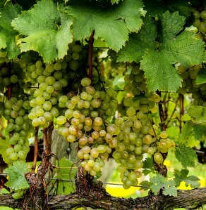 viognier-grapes-188185_1920