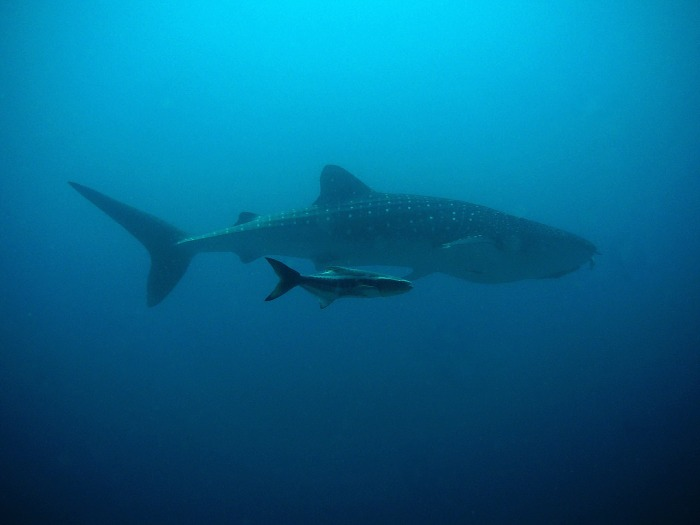 whale-shark-207401